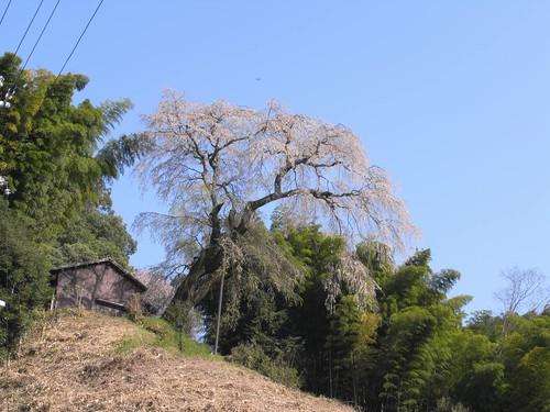 09-04-10【桜】@満願寺「八講桜」-04