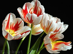 Love Grows (flipkeat) Tags: flowers red white macro yellow port easter happy flora different tulips unique gorgeous awesome blossoms credit top20colorpix goldstaraward wonderfulworldofflowers mimamorflowers dsch50 exploreflowers awesomeblossoms 100commentgroup vosplusbellesphotos thebestofmimamorsgroups greatshotss