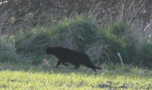 Flickr: Discussing kellas cat in Scottish Wildlife