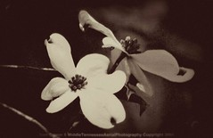 white dogwood blooms vintage (samcrimm) Tags: wedding portrait blackandwhite sports group aerial architectural canon5d dogwood blooms oblique aerialphotography sportsphotography specialevents weddingphotographer architecturalphotography portraitphotographer weddingphotography portraitphotography commercialphotography groupphotography outdoorphotography aerialphotographer dogwoodblooms sportsphotographer outdoorphotographer commercialphotographer architecturalphotographer tennesseephotographer specialeventsphotographer verticalphotography middletennesseephotographer tennesseephotography antiquedogwoodblooms tennesseeaerialphotographer samcrimmii middletennesseeaerialphotography distinctivephotography middletennesseephotography wwwdistinctivephotographynet wwwmiddletennesseeaerialphotographycom wwwsamcrimmnet wwwsamcrimmnetweddingphotographer obliquephotography tullahomaphotographer tullahomaphotography tennesseeaerialphotography groupphotographer obliquephotographer verticalphotographer