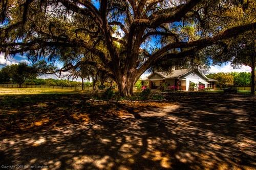 Large Oak in Ocala