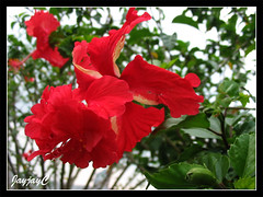 Red Hibiscus rosa-sinensis 'El Capitolio' and 'Archerii' on the same bush at our church compound, February 11 2009