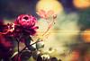 A Little Bit Country, A Little Bit Rock N' Roll (mjmatt) Tags: roses botanicalgardens 85mm18 betharmsheimertexture