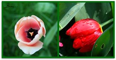 Yarma / Contest (Duru...) Tags: pink red macro green water festival collage garden leaf contest drop tulip su fest botany bahe makro iek yeil lale damla krmz yaprak kolaj yarma pembe fethipaakorusu lalefestivali