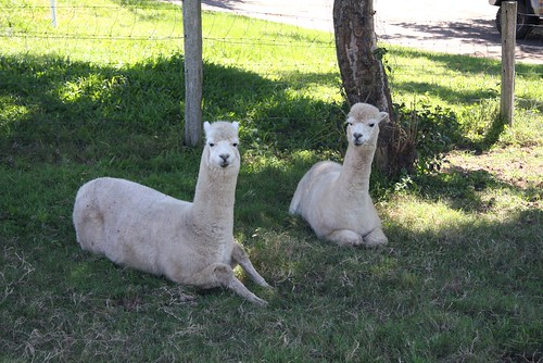 Gap alpacas