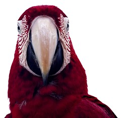 LAURA (Luiz C. Salama) Tags: portrait bird nature freedom rainforest retrato natureza selva free liberdade jungle ave livre arara duetos araracanga focusonthehead