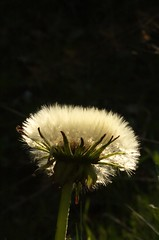Taraxacum officinalis | Paardenbloem, Dandelion