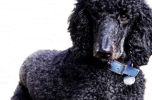 無料写真素材, 動物 , 犬・イヌ, プードル