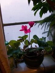 109_9647 (simdude2u) Tags: plant flower utah cyclamen ogden dicot v603 simdude2u