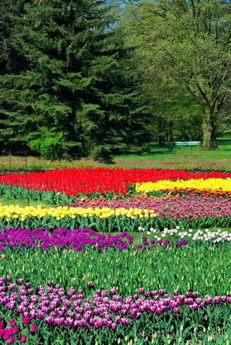 Tulipany w Łódzkim Ogrodzie Botanicznym