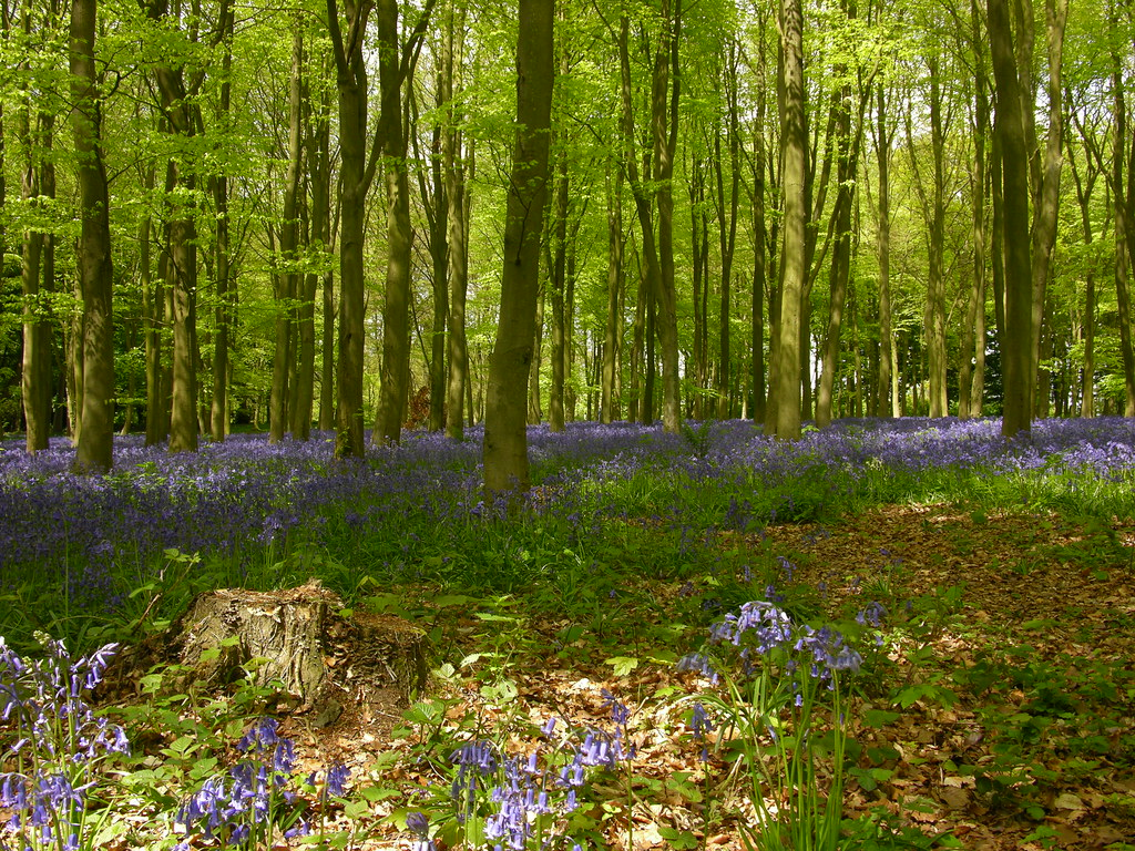 Beeches and Bluebells