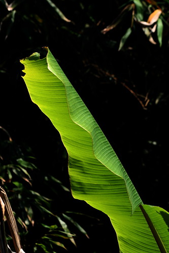 Banana Leaf (by niklausberger)