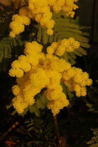 Acacia dealbata (Leguminosae: Mimosoideae)