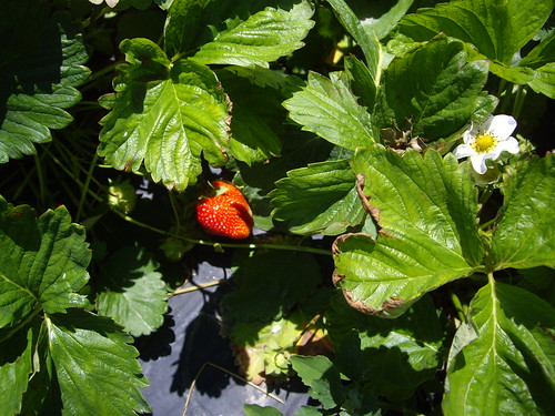 Strawberry Plant at Hann Farms