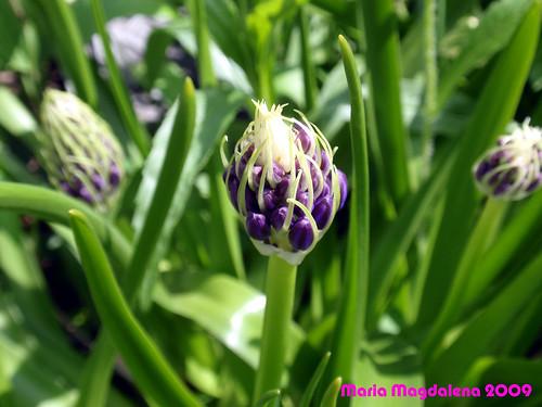 Flower20090522-3