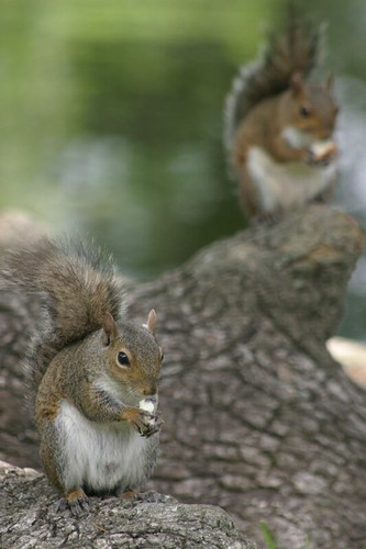 Squirrels in Audubon Park, New Orleans.