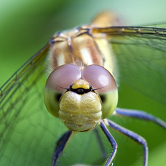 Dragonfly gaze (kaibara87) Tags: macro nature animal animals closeup garden insect eyes dragonfly expression insects 100mm gaze  arzergrande macrosdenaturaleza greatshotss
