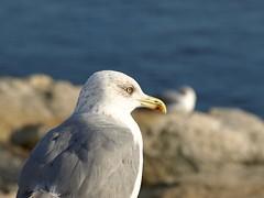 Gaviota aviesa (Jumbero) Tags: sea look mar seagull galicia mirada gaviota sanxenxo