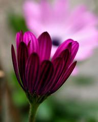 Being Watched (ladyinpurple) Tags: pink flower macro dof magenta africandaisy osteospermum masterphotos