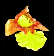 Gmelina arborea Flower (Fallen) (smallislander) Tags: flower tree philippines arborea mindanao generalluna siargaoisland gmelina gmelinaarborea taxonomy:binomial=gmelinaarborea