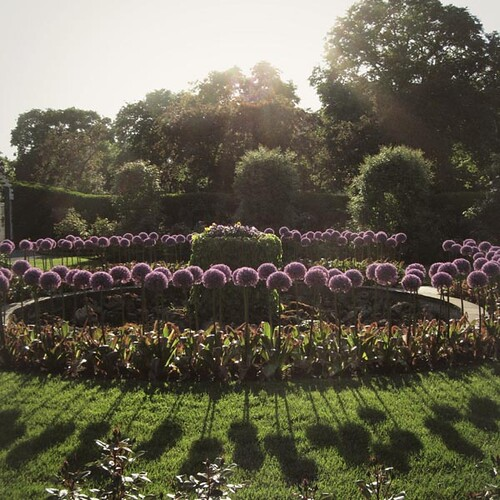 Circle of alliums in the center of the Kelleher Rose Garden.