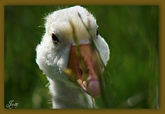 Zoé. (Joy Bajay) Tags: white nature animal morbihan blanc oie mfcc joyr kermaux