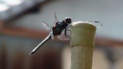 Kyoto Dragonfly