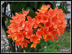 Ixora chinensis 'Sheena' (Jungle Flame/Geranium, Needle Flower) with salmon-orange flowers at our neighborhood