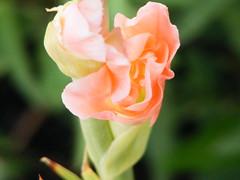 Delicate Process (phil_sidenstricker) Tags: pink flower macro green nature floral garden landscape natural bokeh naturallight sensual blooming dscf3050 newflower fujifilmfinepixs5700 florenceazusa planetearthflowers mamasbloomers