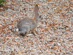 Desert Bunny