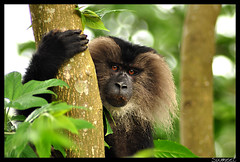 Did you call for me? (sumoworld) Tags: ltm westernghats valparai rainforests kalyanvarma anamalais liontaledmacaque sumoworld