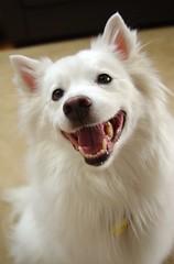 Niko's super smile (utski7) Tags: smile hund niko americaneskimo furkid eskie blueribbonwinner greatdog supershot goldstaraward cantresistthatsmile lightuptheroomwithasmile