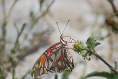Butterfly 14 (Stephen Downes) Tags: butterfly hawaii oahu waimanalo