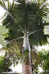 Archontophoenix maxima - Walsh River Archontophoenix (Black Diamond Images) Tags: palms palm palmtree queensland australiannativeplant arecaceae archontophoenix australiannativeplants rainforestplants rainforestplant arfp australianrainforestplant australianrainforestplants australianpalms eaglerocknursery ernmp qrfp archontophoenixmaxima walshriverpalm walshriverarchontophoenix ernmparfp