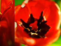 Red hot recycling (raceytay {I br♥ke for bokeh}) Tags: red flower macro canon lost still bokeh recycled boo tulip daisy exif sry ggt bokehlicious 100mmf28usm 5dmarkii dheml seethegreen dipitthursday daisery suchisthewayofthediptych gerberatobeexact alsohalifaxtulip heyitworksforggttoo nogiraffessorry alsotheydonotjump nohatshereeither didyoulookrightinthemiddlethere areyousurethereisntahatthere