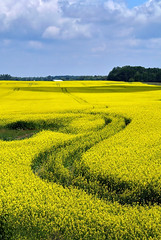yellow plains (anj_p) Tags: ontario canada yellow rural geotagged clifford minto canolafields 100commentgroup atomicaward geo:lat=4396135150 geo:lon=8096356750