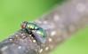 The Fly Part II (ikmattie) Tags: macro fly 1320secatf45 sonyslta55v