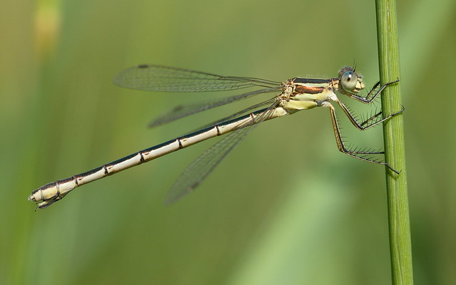 A female Lyre-Tipped Spreadwing at Jay C. Hormel Nature Center in Austin, Minnesota.