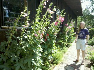 Cynthia's Hollyhocks.