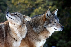 Coyotes Enjoying the February Sun... (*Michelle*(meechelle)) Tags: sun ma stoneham coyotes watchful stonezoo theunforgettablepictures takenthroughtheglass vosplusbellesphotos