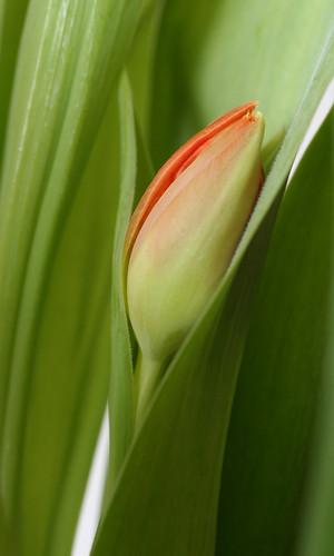tulp/tulip