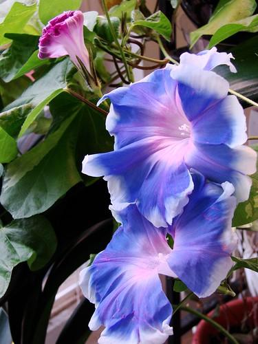 Fukurin Blue JMG 5