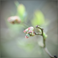 "the most beautiful ""not quite"" (kellysauer) Tags: pink green beautiful spring bokeh blossoms buds oneword onewordbeautiful onewordmarch"