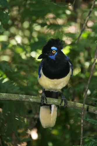 animals Foz do Iguaçu Brazil Paraná birds birds gralha Picaça Cyanocorax chrysops