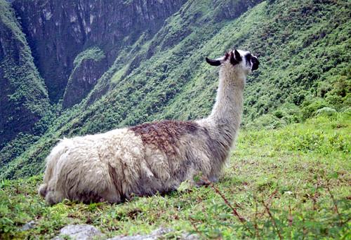 llama at Machu Pichu by Ik T