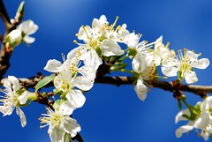 Spring colours, Cherry blossom (natureloving) Tags: blue white flower colour macro nature spring nikon blossom bluesky cherryblossom afsvrmicronikkor105mmf28gifed d40x natureloving flowersinfrance flowersonblue imagesonblue fleursenfrance