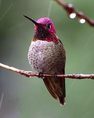 Wet Hummingbird (jhhwild) Tags: bird wet rain hummingbird watcher naturesfinest