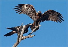 Wedge-tailed eagles (aaardvaark) Tags: male female pair canberra act wedgetailedeagle aquilaaudax callumbrae canberranaturepark 200903171071wtea australiawings