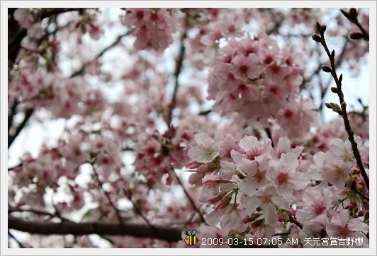 09.03.15 天元宮賞吉野櫻 (3)