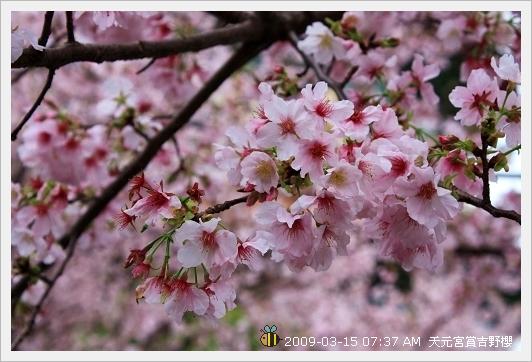 09.03.15 天元宮賞吉野櫻 (8)